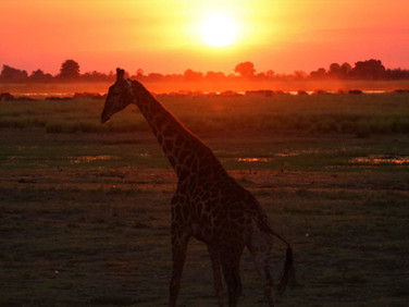 Giraffe at Ngalali Retreat - Kruger, South Africa