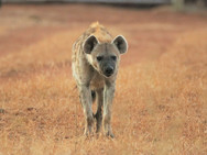 Hyena at Ngalali Retreat - Kruger, South Africa