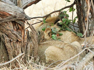 Lions on a kill at Ngalali Retreat - Kruger, South Africa