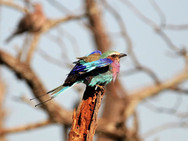 Lilac breasted roller at Ngalali Retreat - Kruger, South Africa