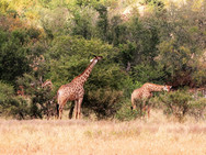 Giraffes at Ngalali Retreat - Kruger, South Africa