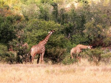 Giraffes at Ngalali Retreat - Kruger, South Africa