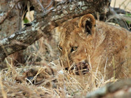 Lion cub on a wildebeest kill at Ngalali Retreat - Kruger South Africa