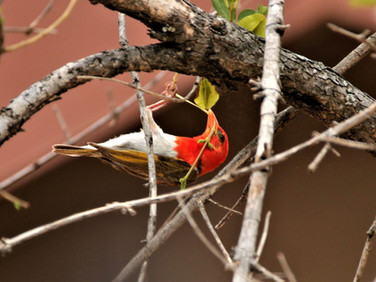 Male red headed weaver  at Ngalali Retreat - Kruger, South Africa