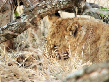 Cub eating a pray at Ngalali Retreat - Kruger, South Africa