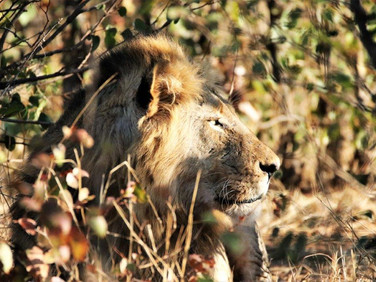 ale lion - Ngalali Retreat - Kruger, South Africa