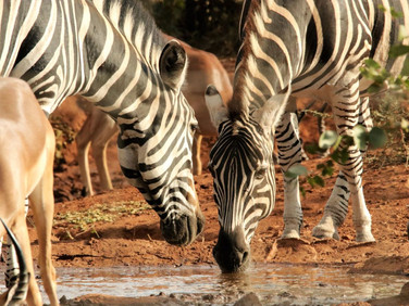 Zebras and impalas  at Ngalali Retreat - Kruger, South Africa