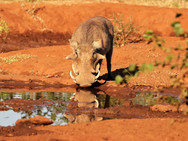 Warthog at Ngalali Retreat - Kruger, South Africa