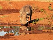 Warthog at Ngalali Retreat - Kruger, South Africa