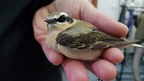 Pochi ma buoni. Few birds but nice species.