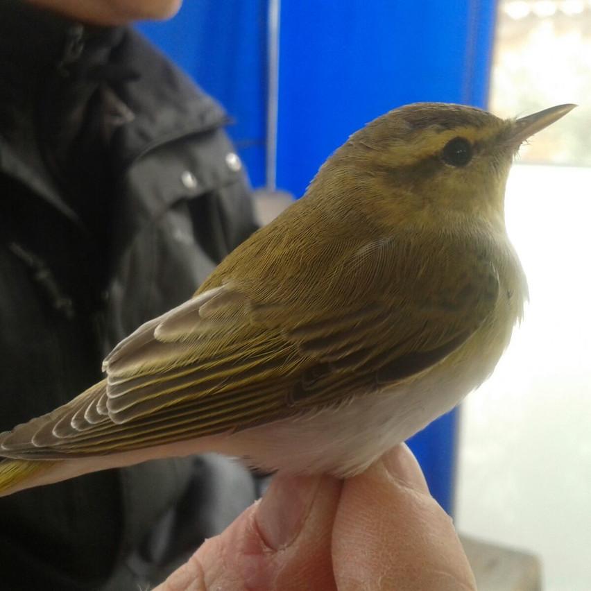LUì VERDE Wood warbler
