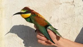 Il Giorno Mondiale degli Uccelli Migratori. World Migratory Bird Day.