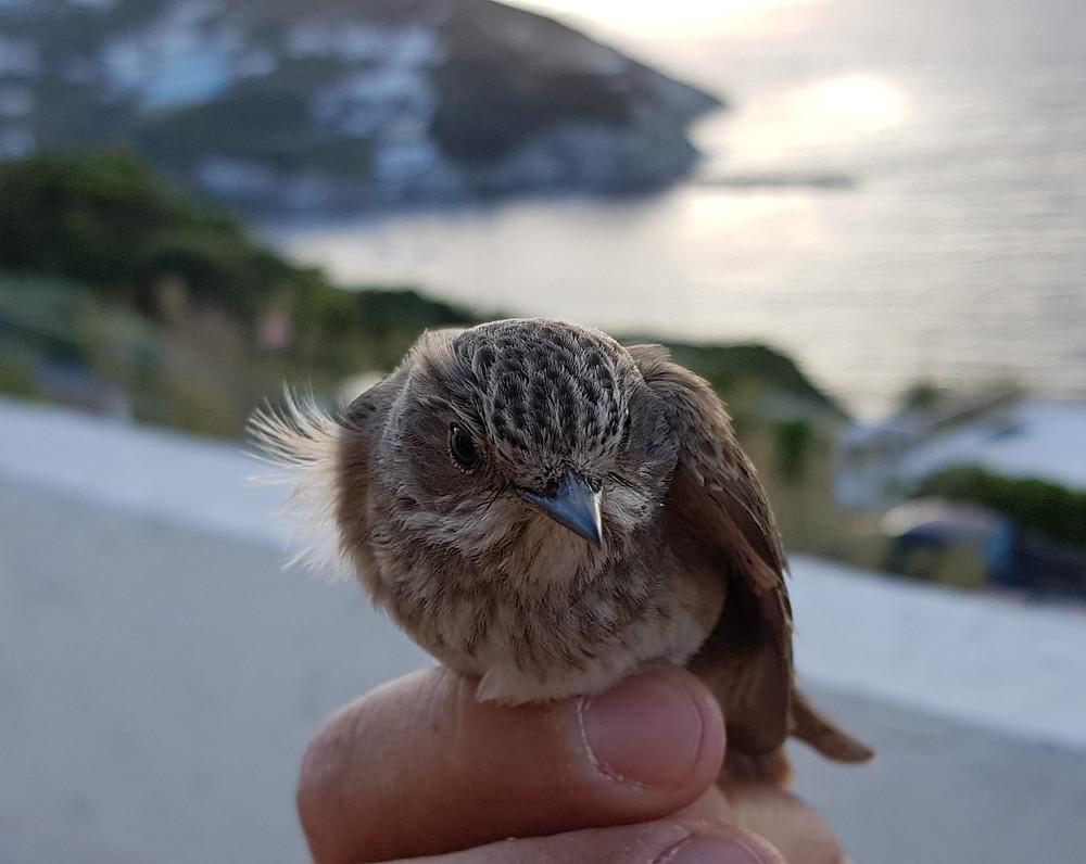 pigliamosche - flycatcher