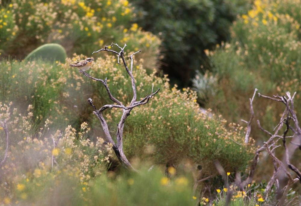 Stiaccino - Whinchat - Saxicola rubetra