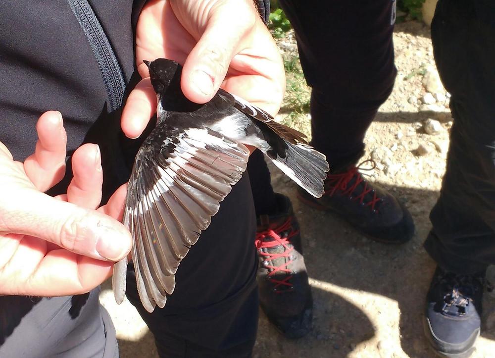 Balia del Caucaso - Semi-collared flycatcher