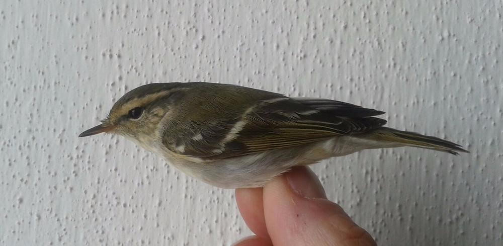 Phylloscopus inornatus