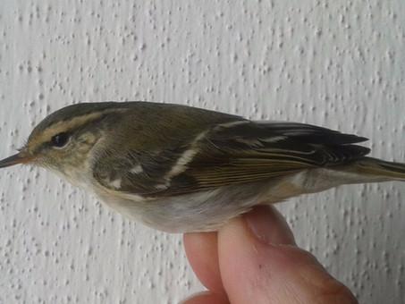 Un forestiero per davvero e non solo! Not a common warbler and not only!