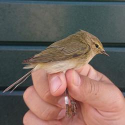 Phylloscopus collybita - retrap - Norway