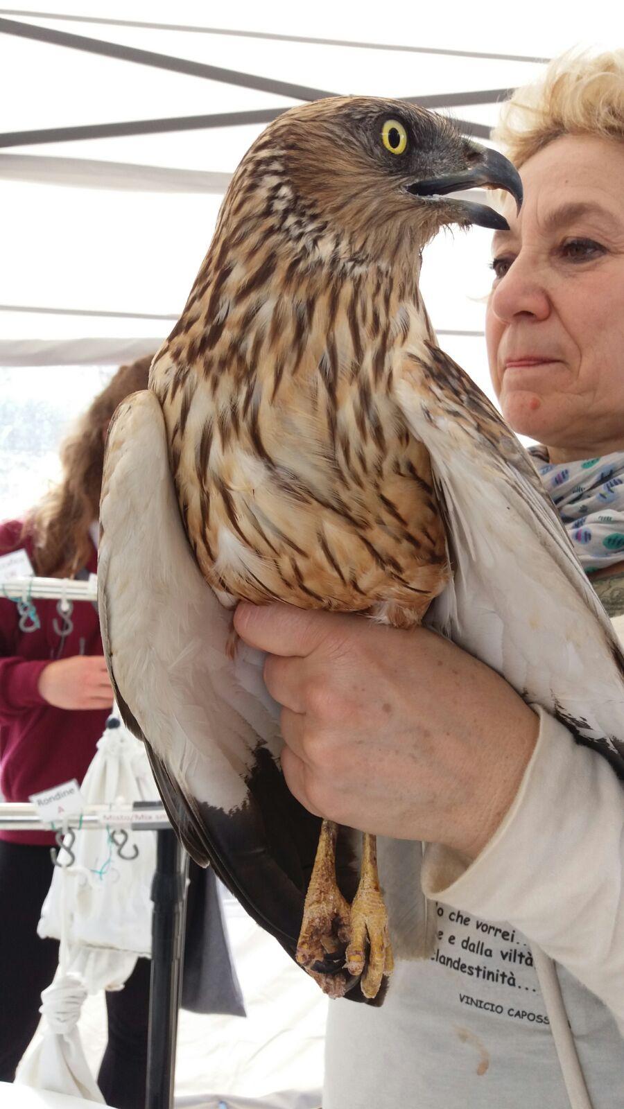 Falco di palude - maschio adulto