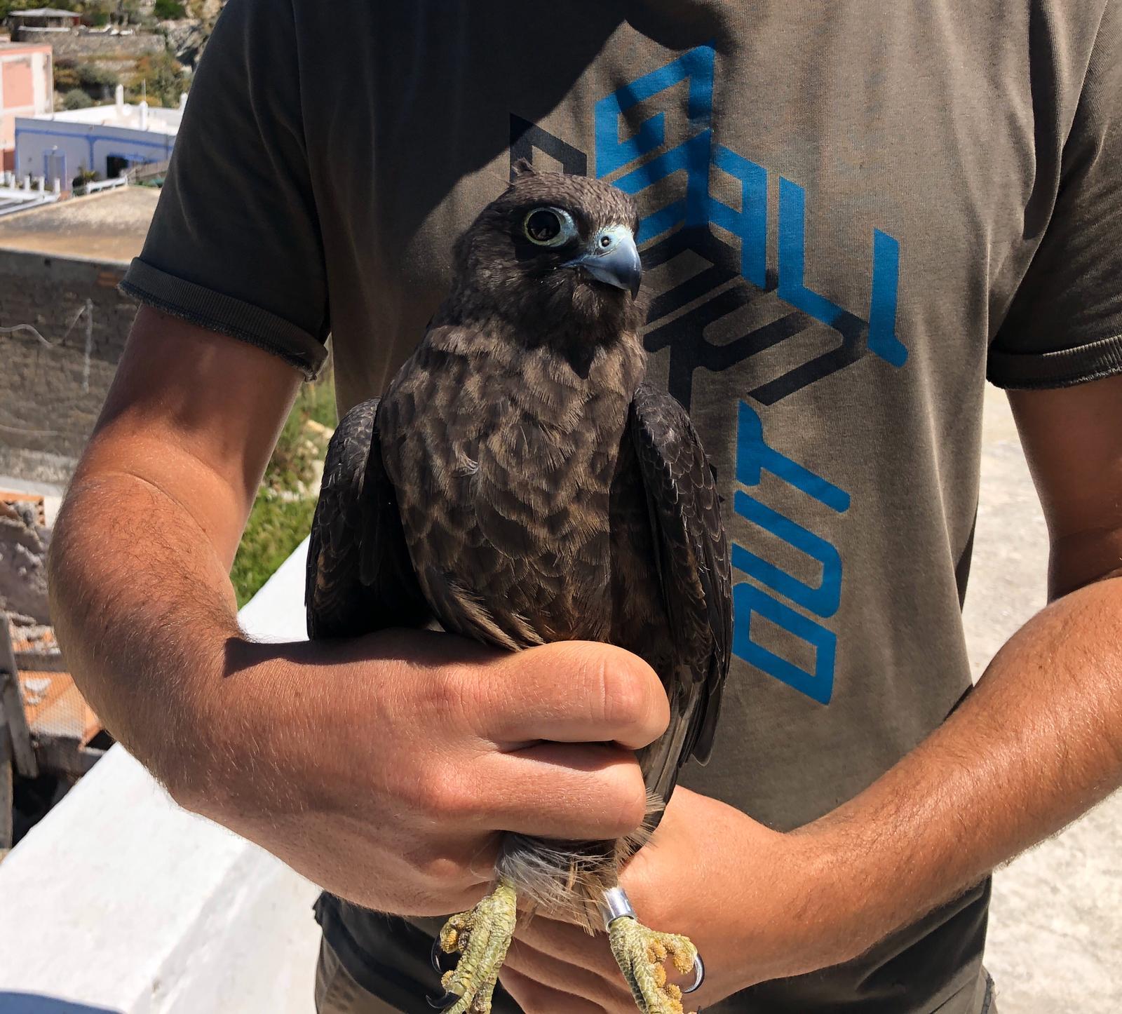 Falco eleonorae