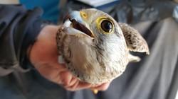 Falco tinnunculus