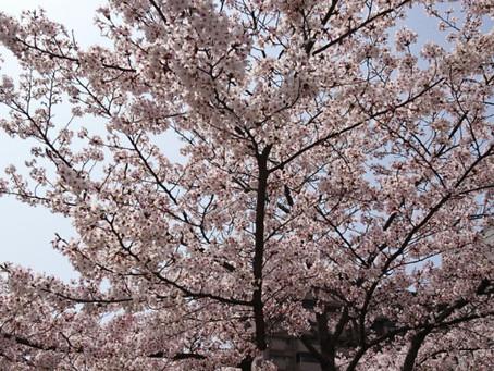 満開の桜と本日の減量飯