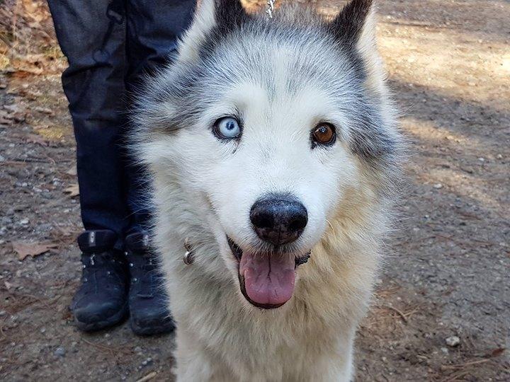 狗主人說這隻是「Siberia 西伯利亞」種,卻來自澳大利亞,生下來即兩眼不同色