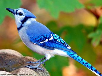 Ontario Birds 安省鳥集