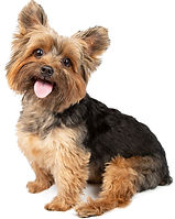 Toby_Yorkie_Balance_4_Dogs_white_backgro