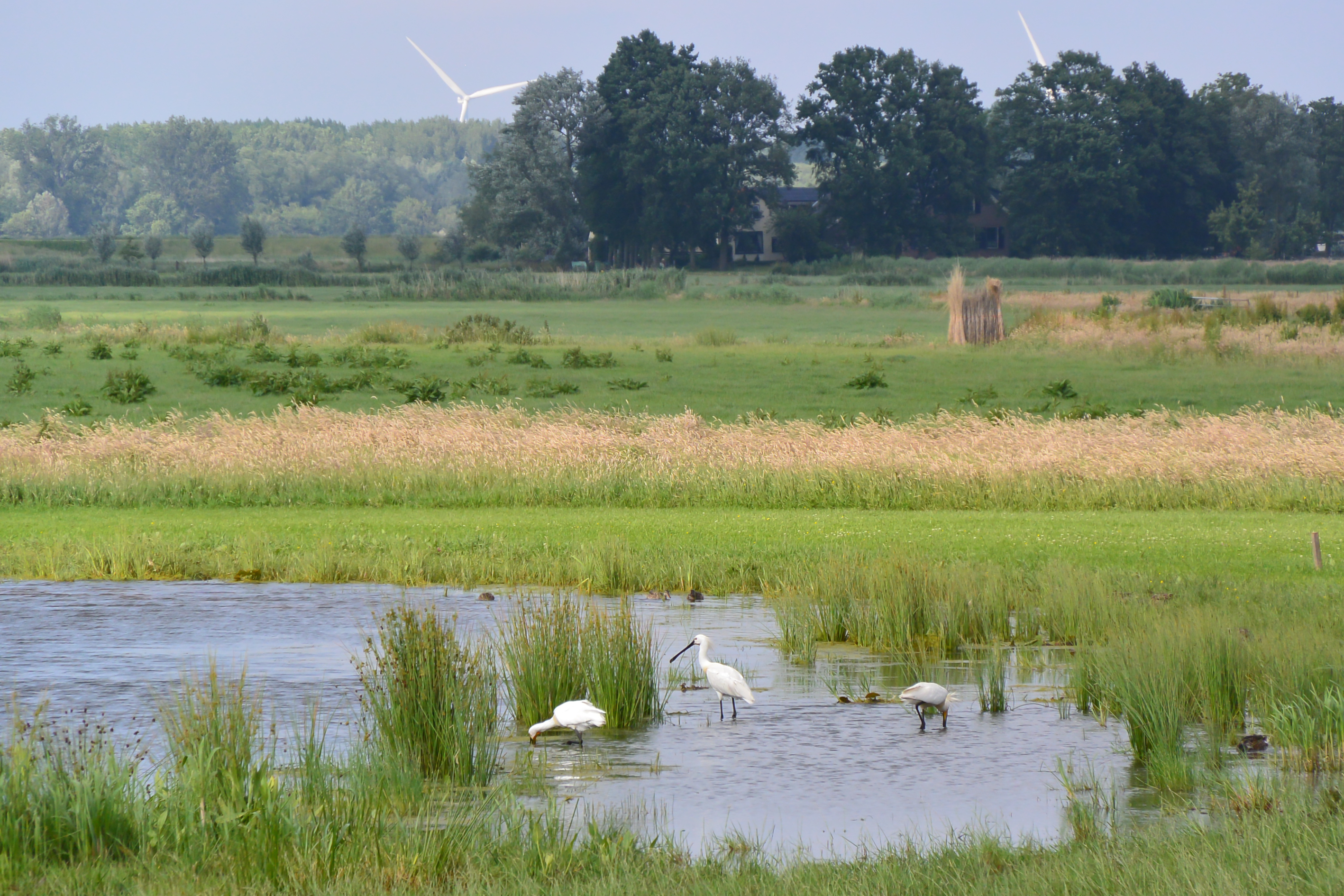 vogels in de polder