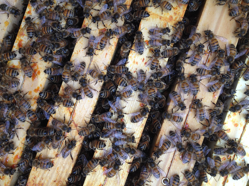 Bienen der C5.JPG