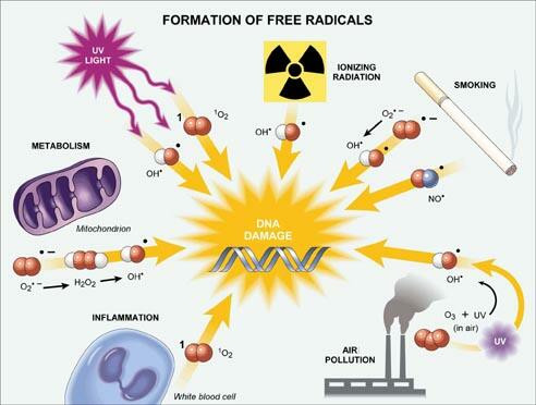 How free radicals are created in the human body.