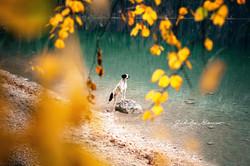 Dalmatiner Rüde am Eibsee im Herbst.