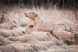 Labrador Welpe Sammy beim laufen im Gras.