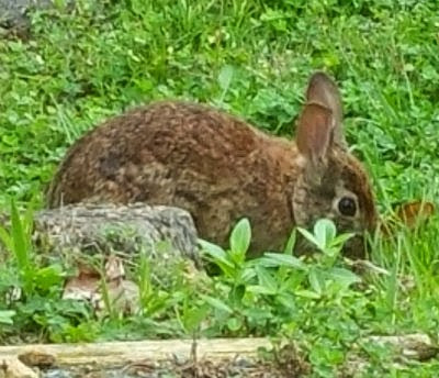 Bunny outside home office window