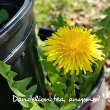 dandelion Tea-Edited.jpg