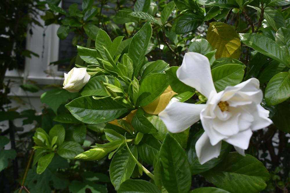 Gardenia bud and flower