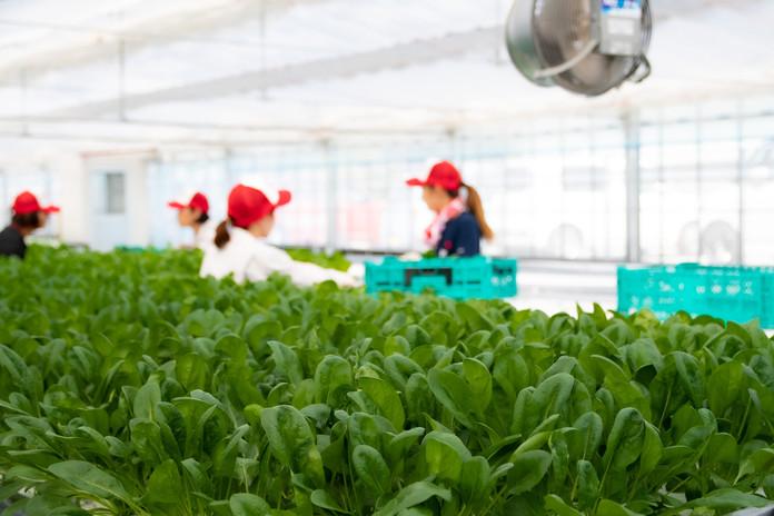 「生で食べられるほうれん草」は土を一切使わない水耕栽培!