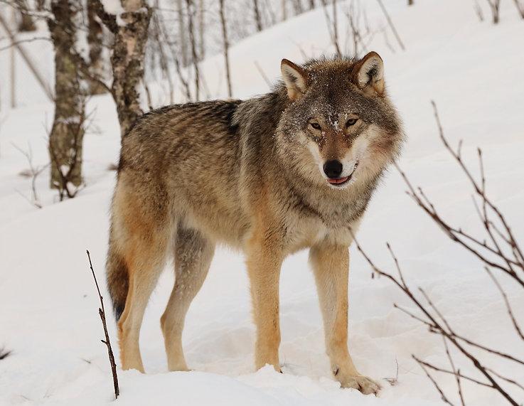 Eurasian_wolf_2.jpg