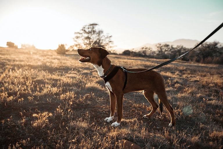 Dog Walking Holly Springs