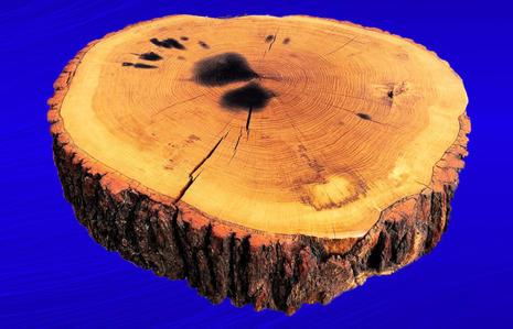 A Slice Of Very Old Live Oak
