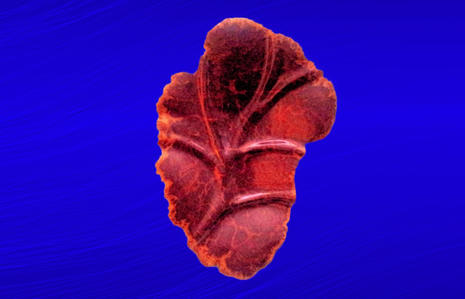 Red Mallee Burl Leaf
