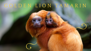Saving Species, One at a Time #1 Golden Lion Tamarin