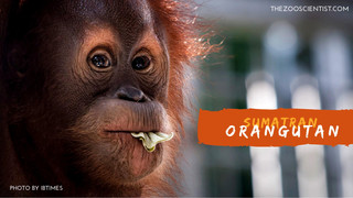 Saving Species One at a Time #4 Sumatran Orangutan