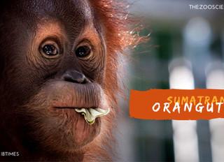 Saving Species One at a Time #4 Sumatran Orangutan