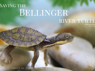 Saving Species One at a Time #3 Bellinger River Turtle