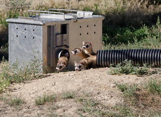 Saving Species One at a Time #5 Black-Footed Ferrets