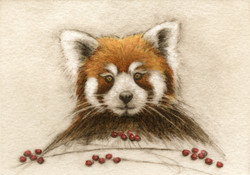 Red Panda-Fain, watercolor/etching