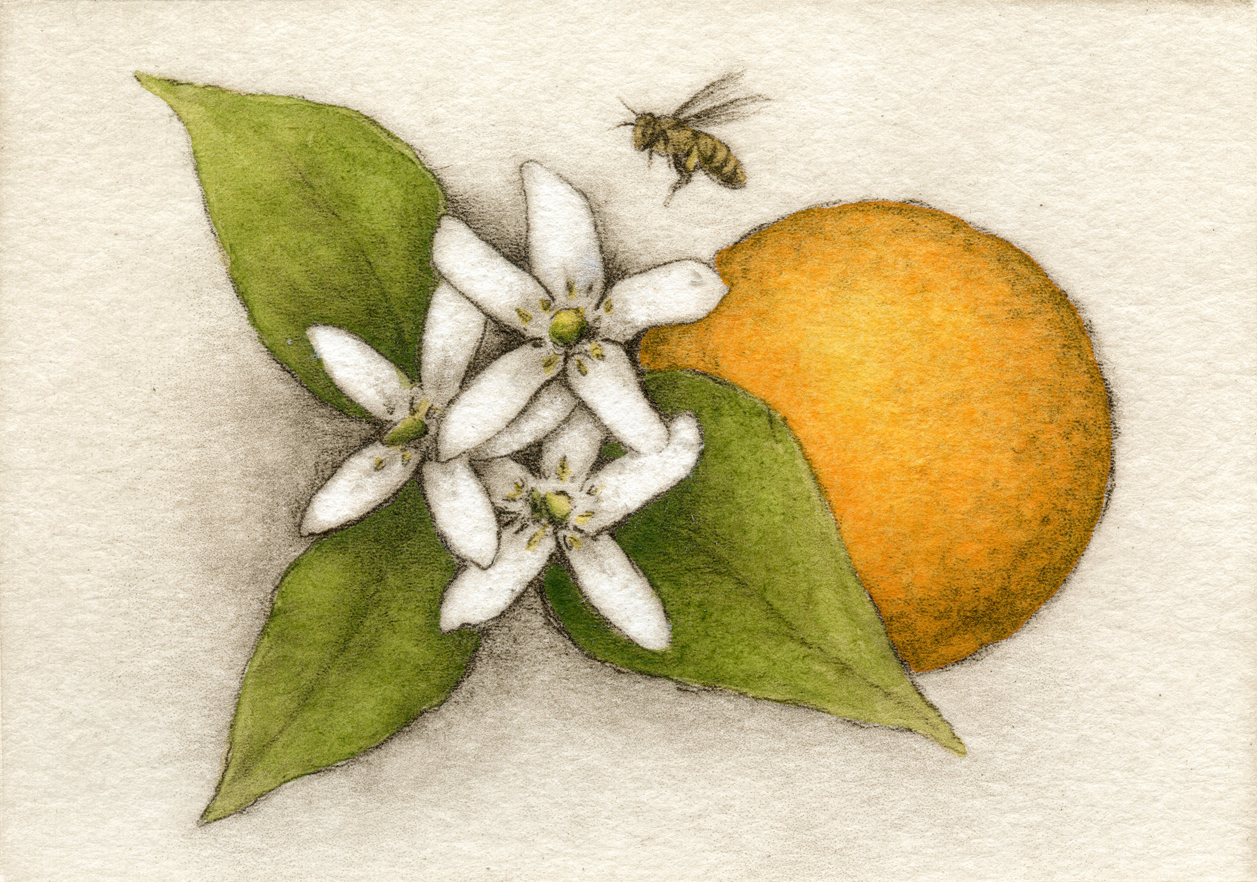 Orange BlossomFain, watercolor/etching