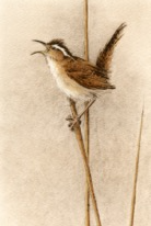 Marsh Wren-Fain, watercolor/etching$495